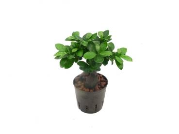 Ficus microcarpa Ginseng | Chinesische Feige