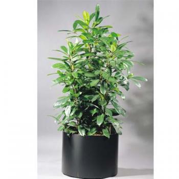 Ficus cyathistipula im Kunststoffgefäß