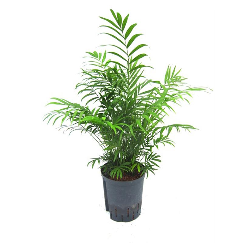 3 Pflanzen Chamaedorea elegans Bergpalme